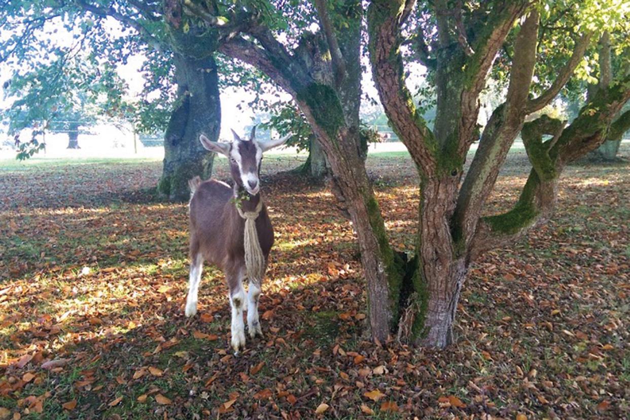 Goat of thrones: a more upmarket kind of memorabilia
