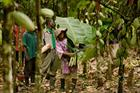 Magnum increases ties with Rainforest Alliance ethical cocoa scheme