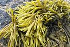 Report urges more seaweed for bioenergy use