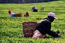 Consumers want top tea brands to convert to Fairtrade