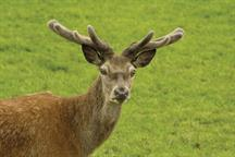 Pest & Disease Management - Roe, fallow and muntjac deer