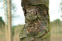 Pest & Disease Factsheet - Bacterial and fungal cankers
