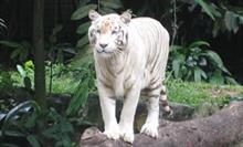 Sumatran tigers: endangered