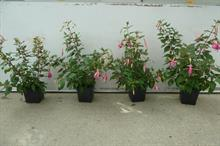 Fuchsia trial sees Solufeed success