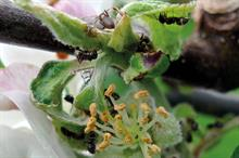 Ants could help orchards and control caterpillars