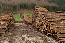 Softwood felled in the UK for plant health reasons doubles