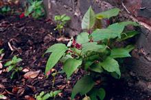 UK prioritises adverse impacts of invasive plant species