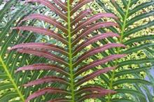 Rickards Hardy Ferns to launch new Blechnum variety at Chelsea