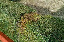 Box blight may be controllable, says latest research