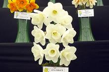 Narcissus 'Ava Grace'