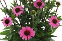 Echinacea 'Mooodz Joy'