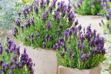 Lavandula stoechas 'Bandera Purple'