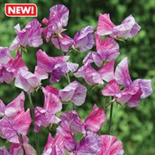 Mr Fothergill's sweetpea wins RHS award of garden merit