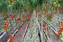 Carbon Gold highlights biochar tomato boost