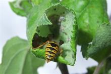 Tackle apple pests by utilising insects