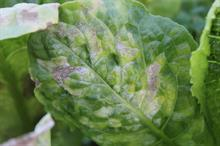Pest & Disease Management - Lettuce downy mildew