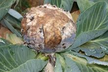 Pest & Disease Management - Grey mould on edible field crops