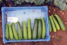 Courgette hybrids perform well at NIAB trials and are ensured place on market