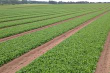Spinach growers told to beware new mildew