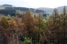 Devastation from Phytophthora ramorum leads to rebirth of Welsh forest