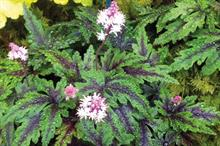 Tiarella 'Angel Wings'
