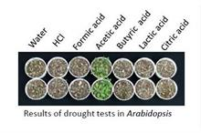 Common chemical boosts crops' drought tolerance research finds