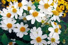 Bidens 'Moonlight'