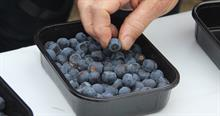 Blueberry breeding consortium launched at the James Hutton Institute