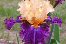 Cayeux Iris 'Cocktail Tropical'