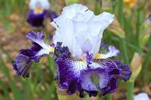Cayeux Iris 'Plume Bleue'