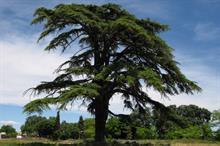 Cedars face damage from new pathogen
