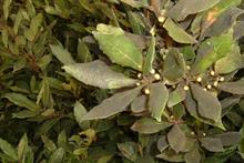 Pest & Disease Management - Sooty moulds