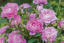 Rosa 'Sir Walter Scott'