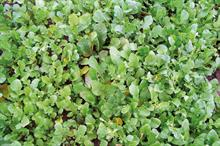 Pest & Disease Factsheet - Green manure crops
