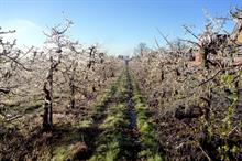 How will a reduced European apple harvest impact on UK growers?