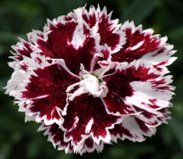 Earley Ornamentals is now a distributor for Whetman Pinks