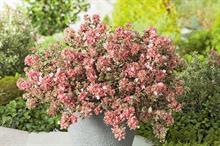 Abelia grandiflora 'Opstal103' (Magic Daydream)