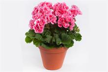 Pelargonium Spanish Wine Rosé ('Pacswiros') (Darkline Series)