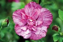 Hibiscus syriacus 'Rwoods5' (Magenta Chiffon)