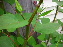 Japanese knotweed and squirrels on the agenda for invasives conference