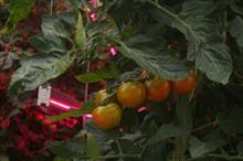 Sainsbury's includes LED-grown UK tomatoes in its out-of-season range