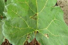 Pest and disease factsheet - Leaf miners