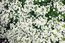 Lobularia 'Awesome White'