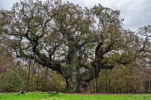 Three beloved British trees in running for European title