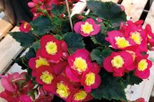 Begonia Elatior Valentino Pink