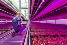 """Dutch tulip grower installs """"dynamic"""" LED lighting to steer specific growth characteristics"""