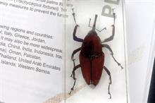 Red palm weevil discovery sparks fears of 'palmageddon'