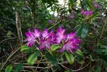 Rhododendron in UK covers nearly 100,000 hectares