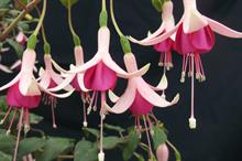 Fuchsia 'Sarcoma UK'