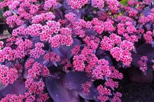 Sedum 'Oriental Dancer' to be launched at Four Oaks 2016